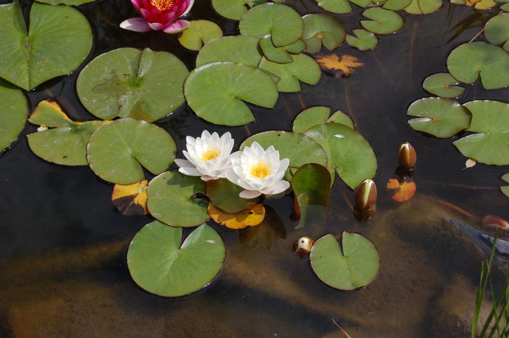 lilie białe
